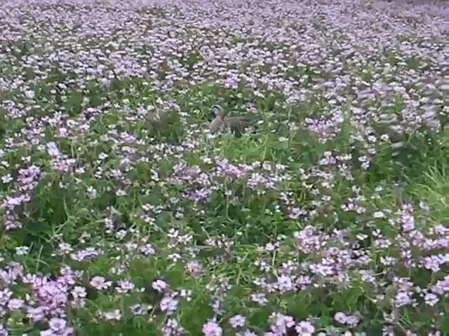 4/21(土) 三島江へ『菜の花』と『レンゲ』を見に行って来ました〜_a0059812_21181233.jpg