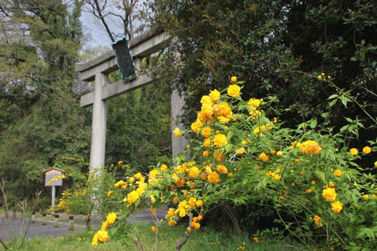 梨の木神社 山吹満開_e0048413_20582831.jpg