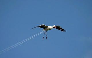 ついに「ケム鳥」まで登場か?:お尻から飛行機雲を出して飛ぶ鳥_e0171614_12113412.jpg