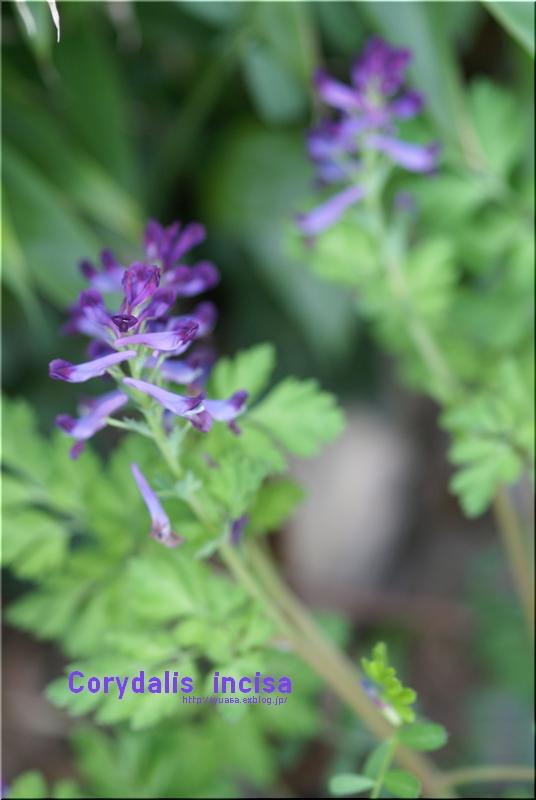 紫華鬘_f0156117_10333993.jpg