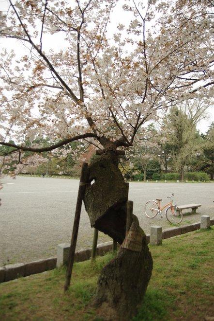 夢の中の桜   京都御所_e0171336_22180100.jpg
