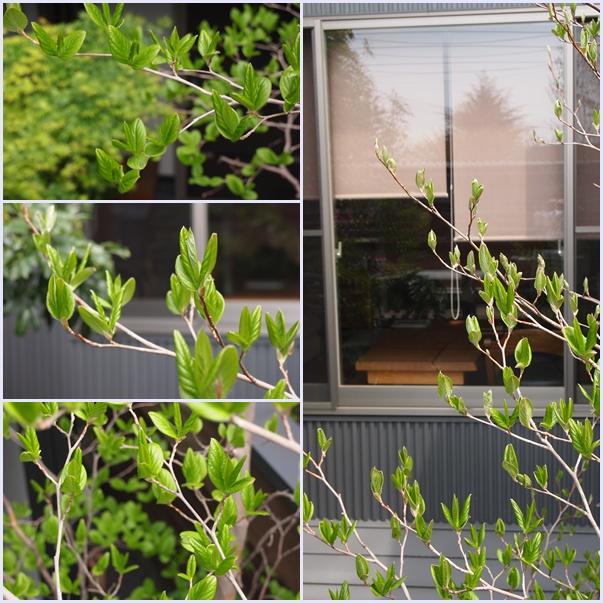 シンボルツリーの芽吹き☆_c0152341_0555373.jpg