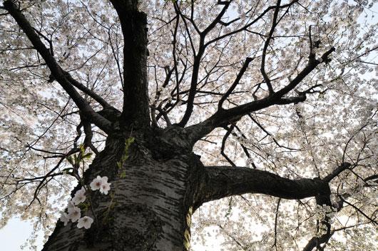 桜(3)_c0093046_16441142.jpg
