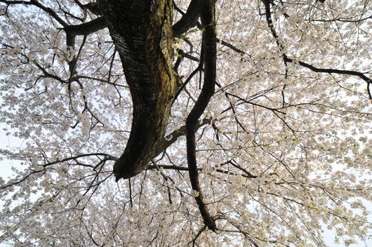 桜(3)_c0093046_16442926.jpg