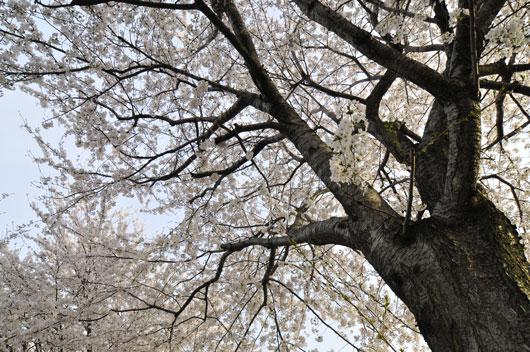 桜(3)_c0093046_1644466.jpg