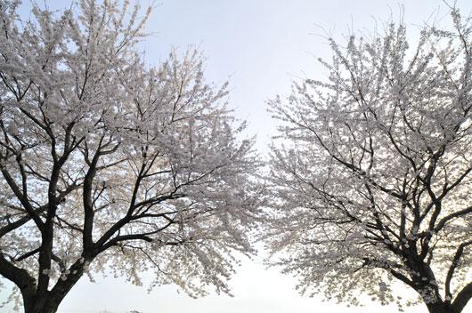 桜(3)_c0093046_16452826.jpg