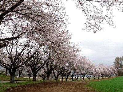 蕪の桜_f0019247_18401072.jpg