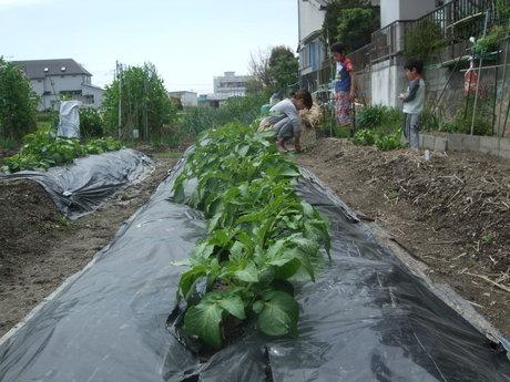 我が家の畑10 レタスを収穫_d0191262_2205269.jpg
