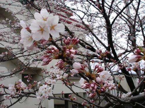 やっと桜が咲きました!_e0266363_21321089.jpg