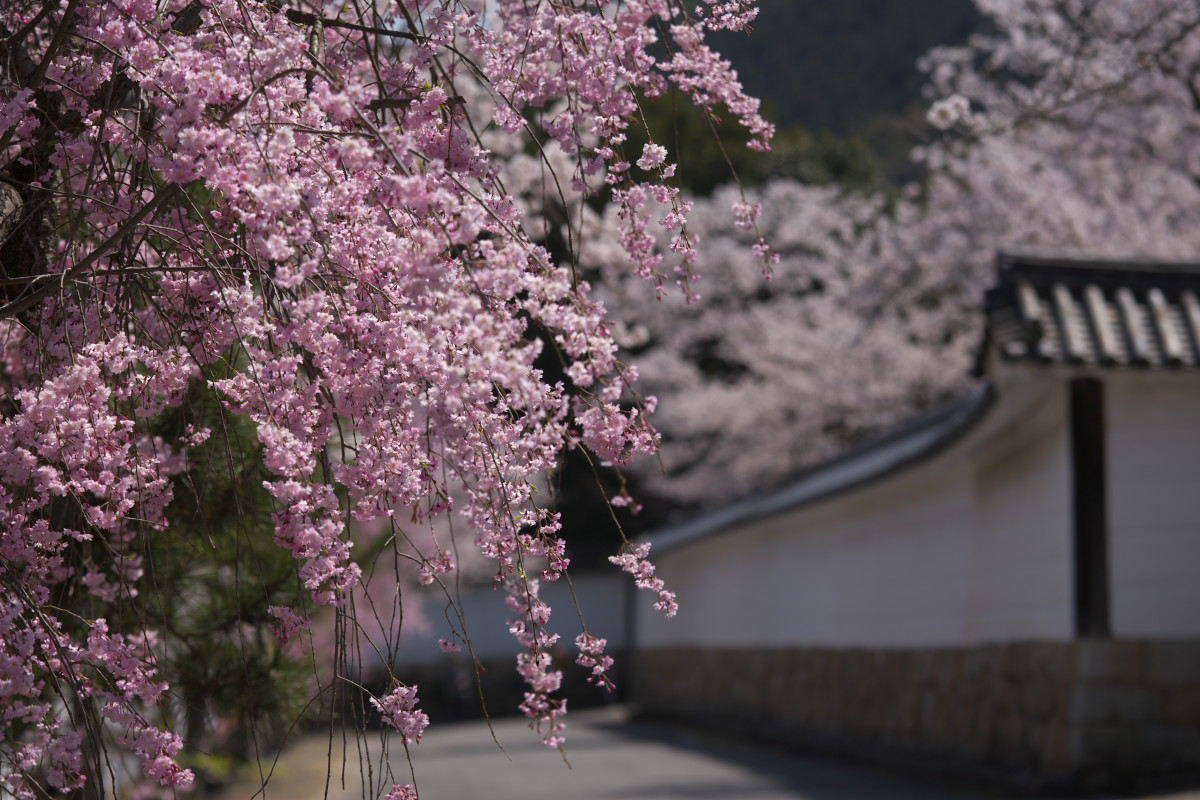 桜 2012  京都 <観修寺>_f0021869_23531840.jpg