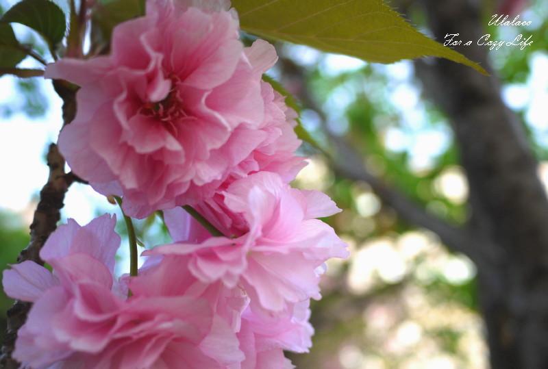名残の八重桜_a0262573_8313147.jpg