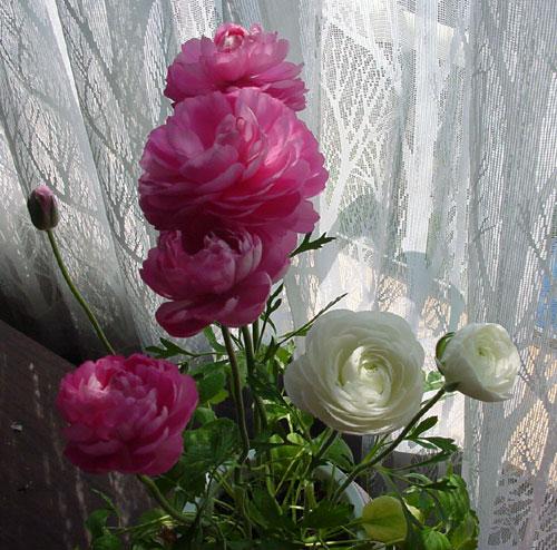 早播きした種の発芽と、ラナンキュラスの花♪_a0136293_20111744.jpg