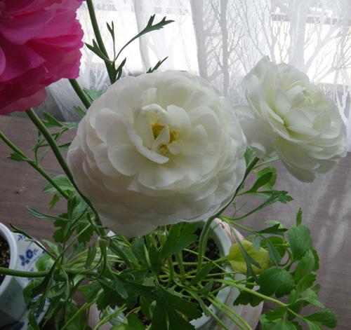 早播きした種の発芽と、ラナンキュラスの花♪_a0136293_20115194.jpg