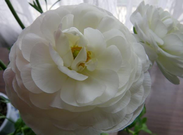 早播きした種の発芽と、ラナンキュラスの花♪_a0136293_20122636.jpg
