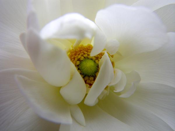 早播きした種の発芽と、ラナンキュラスの花♪_a0136293_20124195.jpg