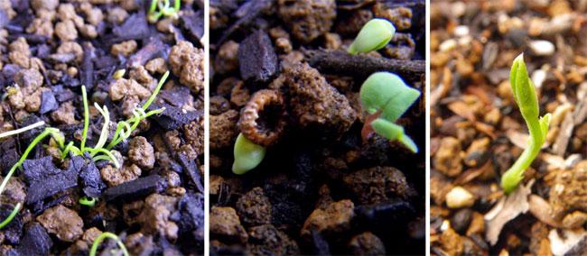 早播きした種の発芽と、ラナンキュラスの花♪_a0136293_202996.jpg