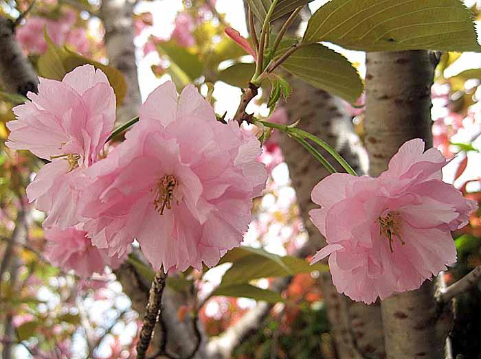 八重桜_e0016894_8555145.jpg