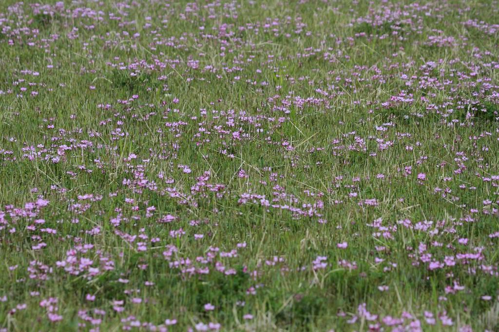 モズの父さん餌採り、母さん見張り/公園はヤマブキ・田圃はレンゲが満開_b0024798_12141741.jpg