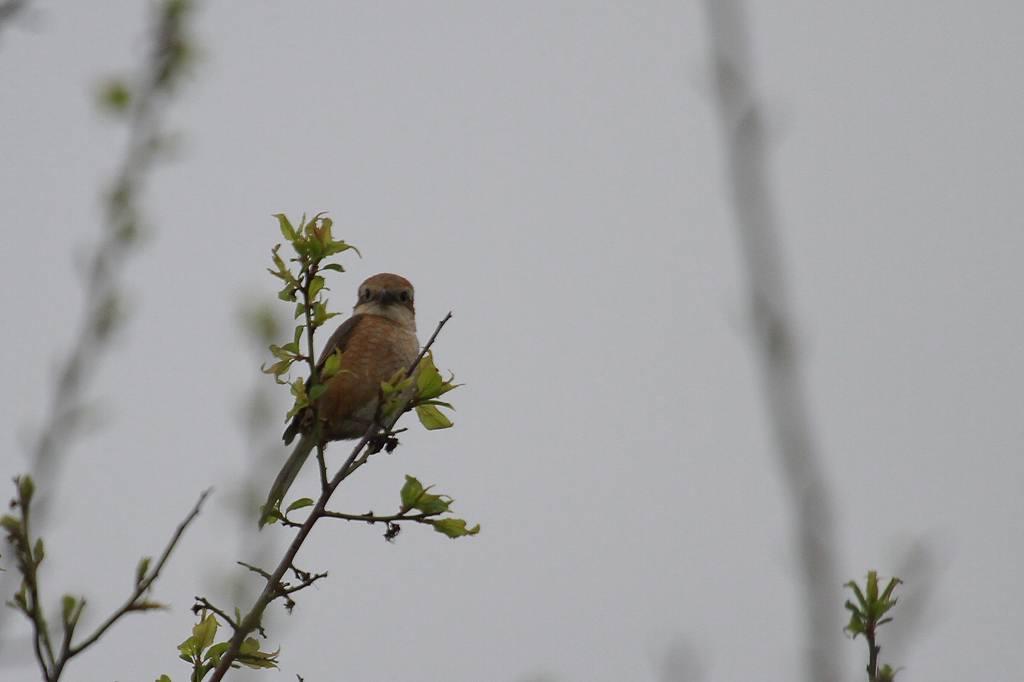 モズの父さん餌採り、母さん見張り/公園はヤマブキ・田圃はレンゲが満開_b0024798_1275649.jpg