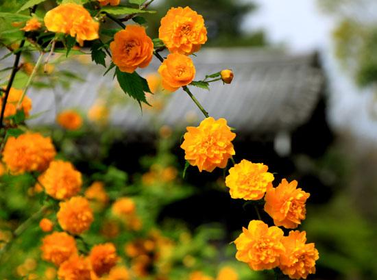 京都御苑でもヤマブキが_e0048413_19465766.jpg