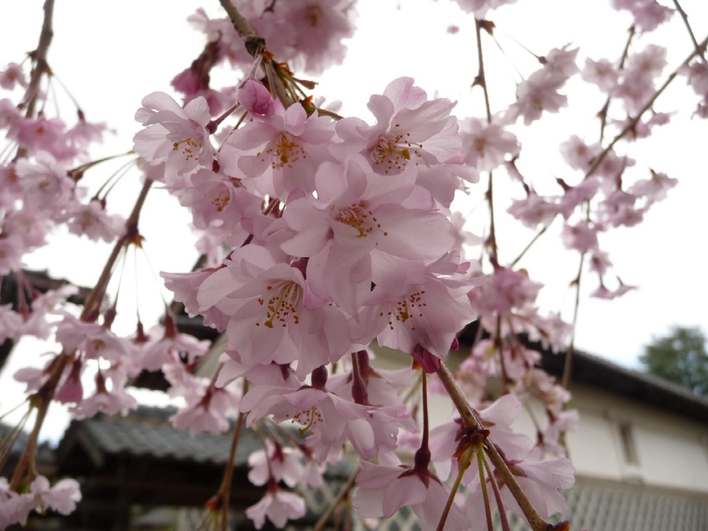 ~ 桜めぐり ~_e0135219_131630100.jpg
