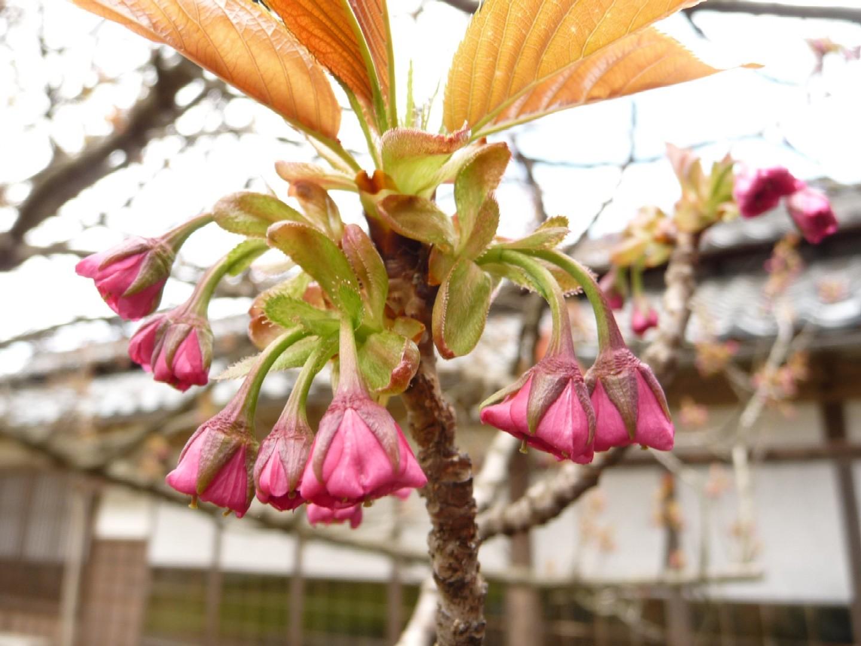 ~ 桜めぐり ~_e0135219_13343282.jpg