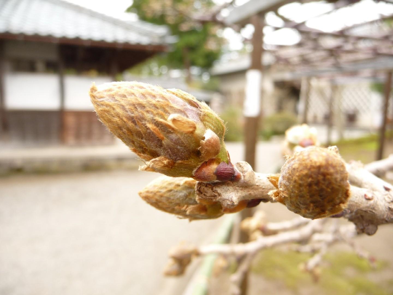 ~ 桜めぐり ~_e0135219_16241742.jpg
