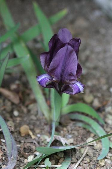 春  マイガーデン(花)_d0150720_8541743.jpg