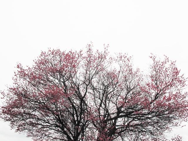 UME&SAKURA♪_c0241324_12471998.jpg