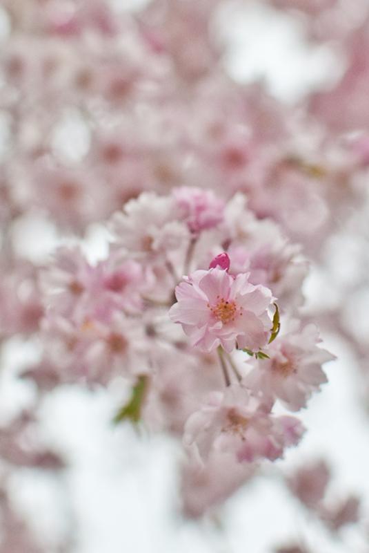 枝垂れ桜[昭和記念公園の桜]_d0214541_22263557.jpg