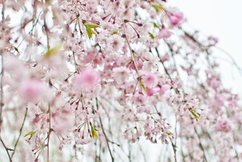 枝垂れ桜[昭和記念公園の桜]_d0214541_22265720.jpg