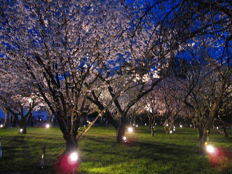 二条城の夜桜_e0237645_14575172.jpg