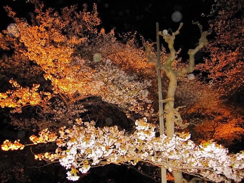 二条城の夜桜_e0237645_14583226.jpg