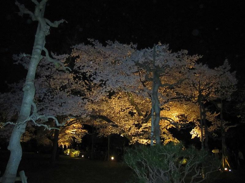 二条城の夜桜_e0237645_14584345.jpg