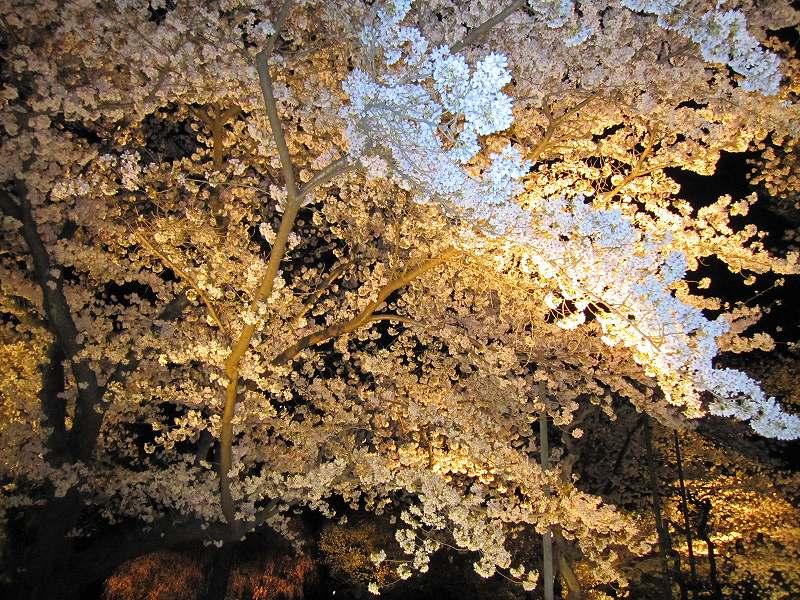 二条城の夜桜_e0237645_14585894.jpg