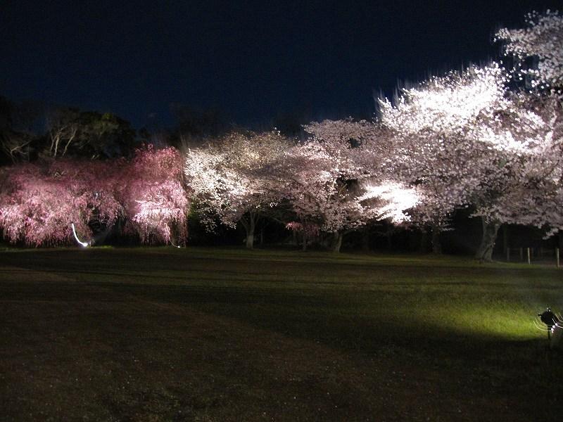 二条城の夜桜_e0237645_14593145.jpg