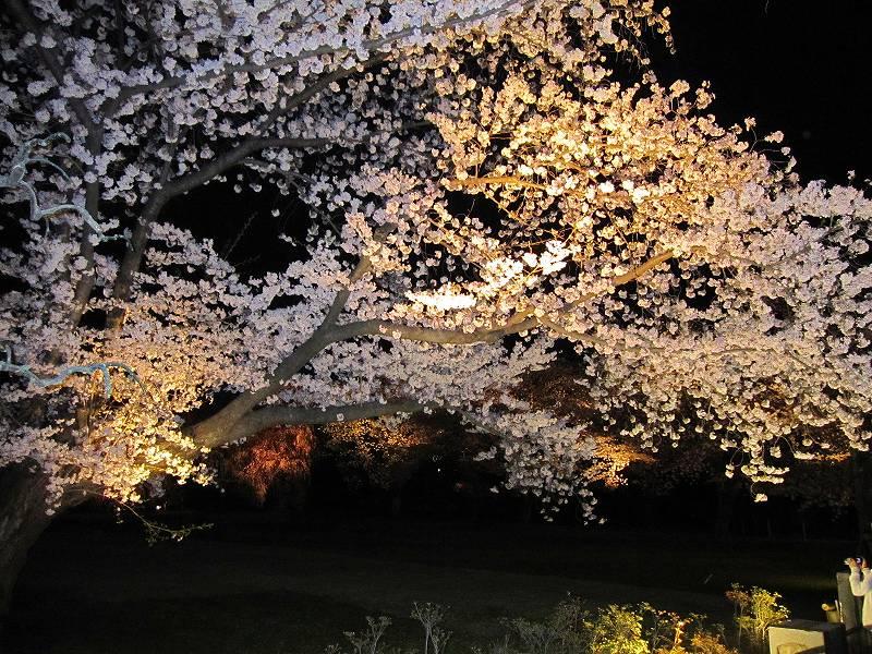二条城の夜桜_e0237645_1501490.jpg