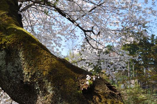 桜(4)_c0093046_10372890.jpg