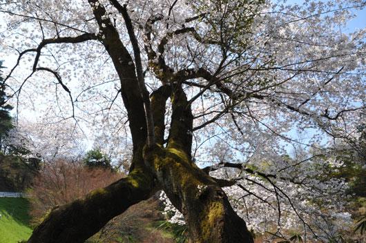桜(4)_c0093046_10374566.jpg