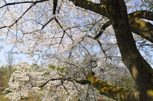 桜(4)_c0093046_103768.jpg