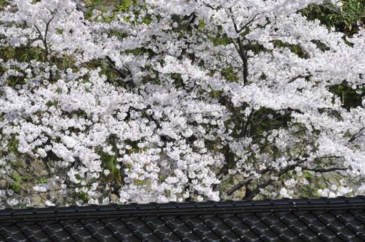 桜(4)_c0093046_10383148.jpg