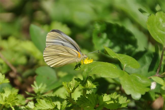 2012年4月の蝶_e0194952_14443779.jpg
