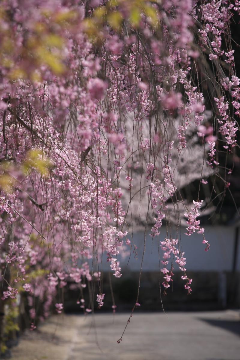 桜 2012  京都 <観修寺>_f0021869_0102983.jpg