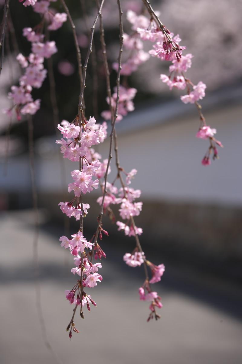 桜 2012  京都 <観修寺>_f0021869_011528.jpg