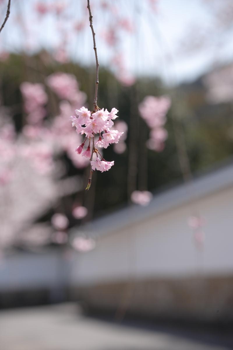 桜 2012  京都 <観修寺>_f0021869_016476.jpg