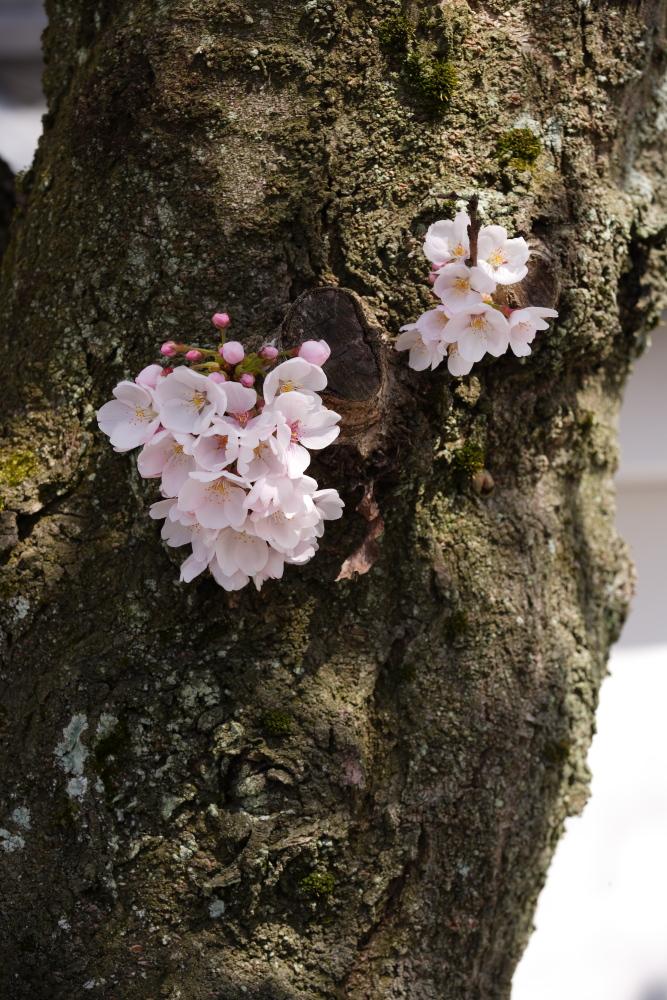 桜 2012  京都 <観修寺>_f0021869_017383.jpg