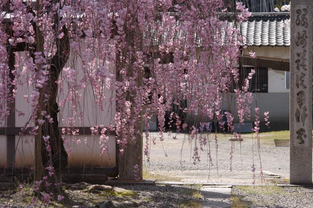 桜 2012  京都 <観修寺>_f0021869_084048.jpg