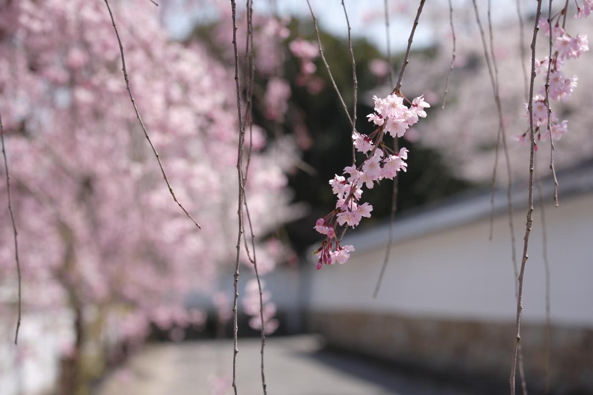 桜 2012  京都 <観修寺>_f0021869_093431.jpg