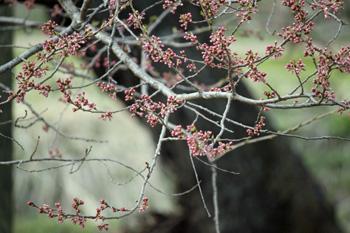 会津の五桜を取材してきました~♪_d0250986_1034129.jpg