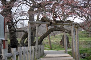 会津の五桜を取材してきました~♪_d0250986_10341711.jpg